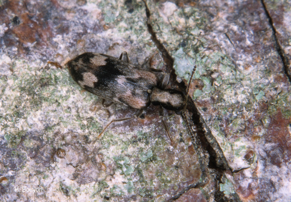 Agnathus decoratus