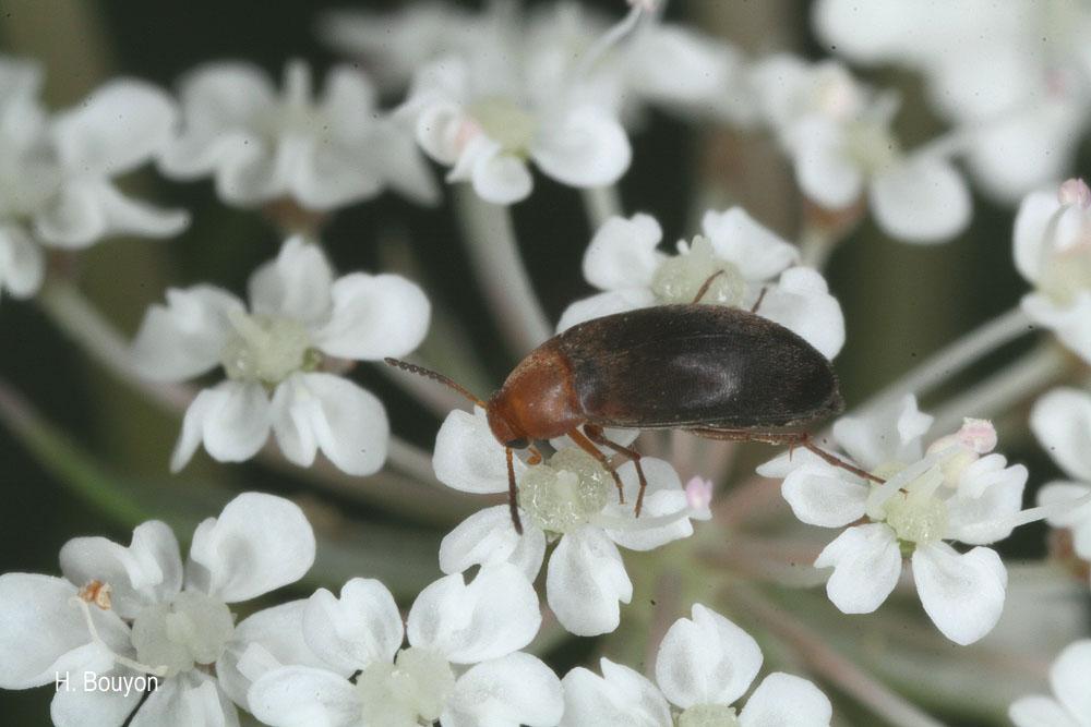 Anaspis pyrenaea