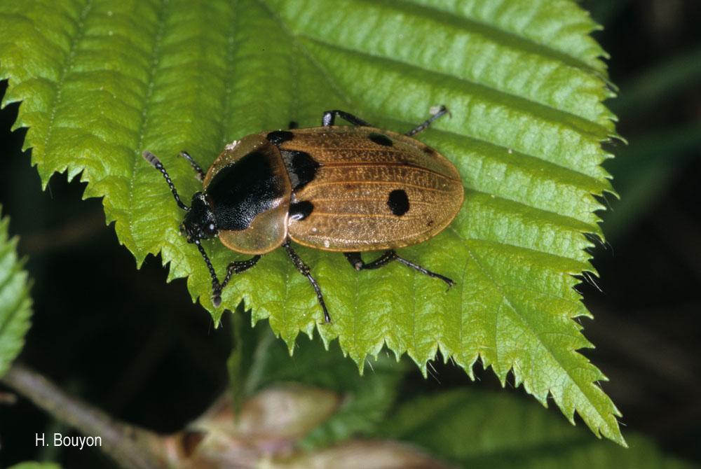 Dendroxena quadrimaculata