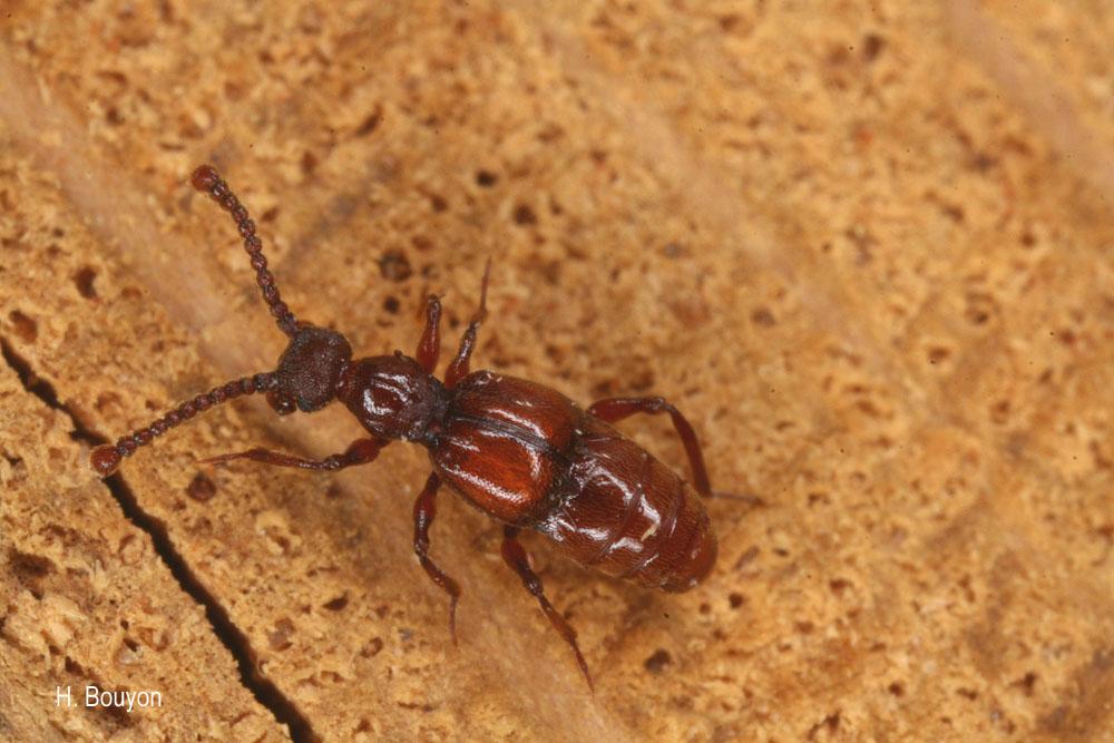 Batrisus formicarius