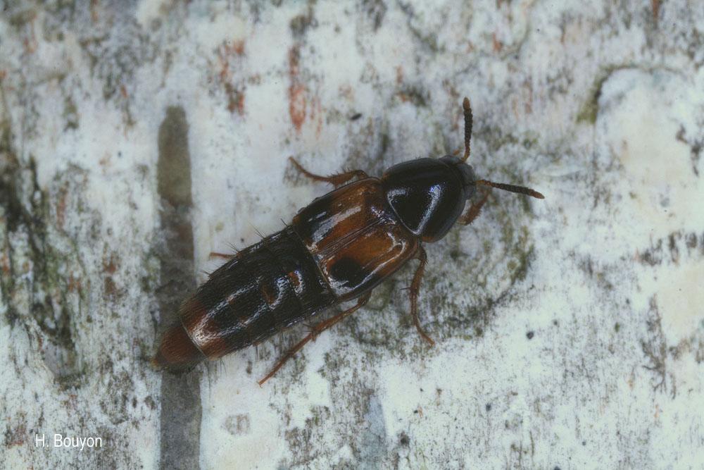 Carphacis striatus