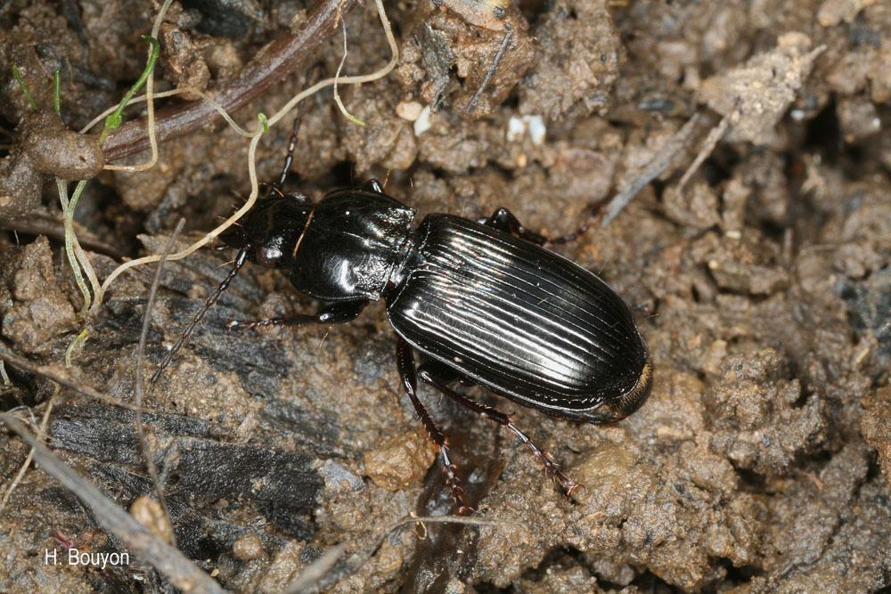 Pterostichus anthracinus