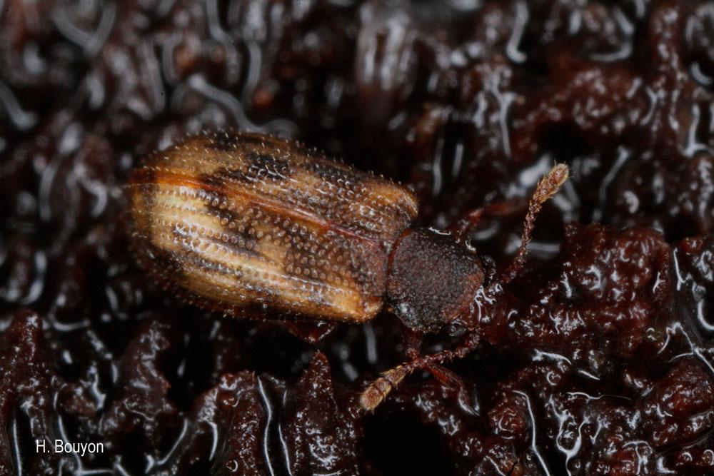 Derodontus macularis