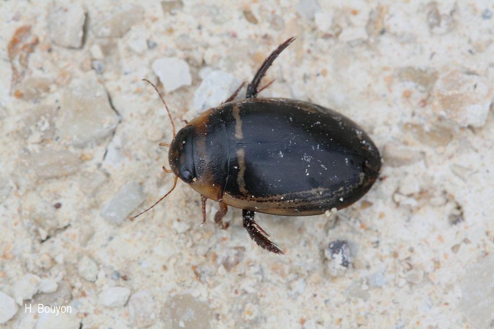 Hydaticus transversalis