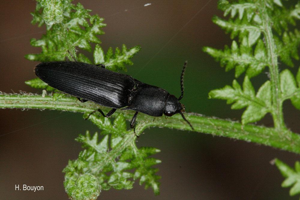 Ectinus aterrimus