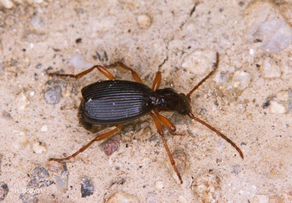 Aptinus pyrenaeus