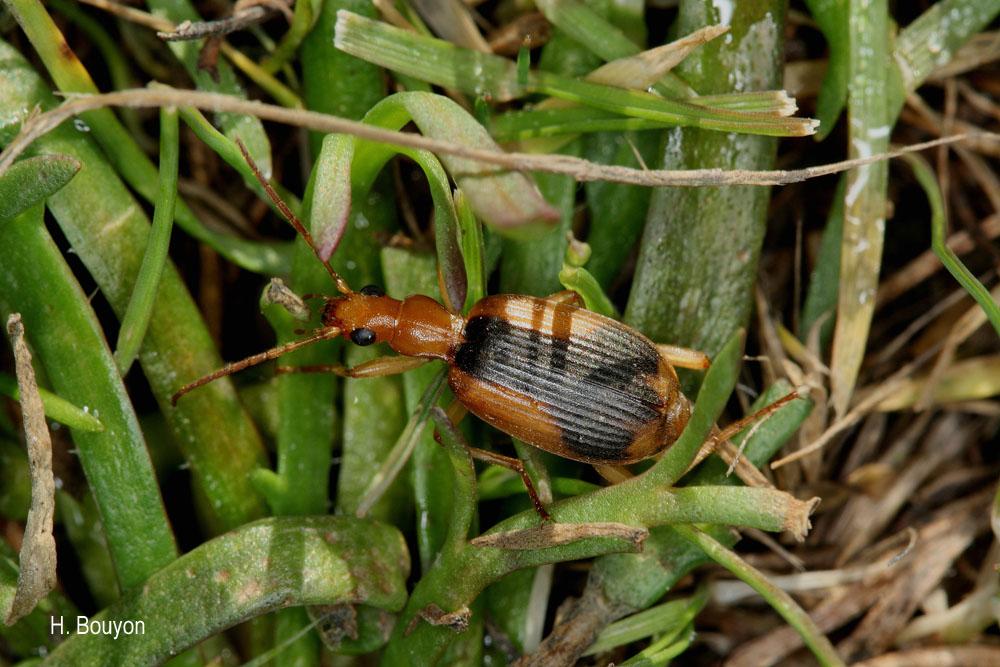 Brachinus humeralis