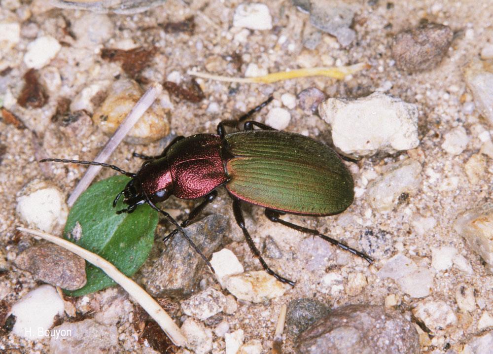 Chlaenius fulgidicollis