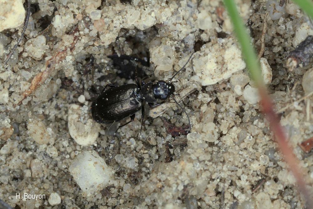 Syntomus foveatus