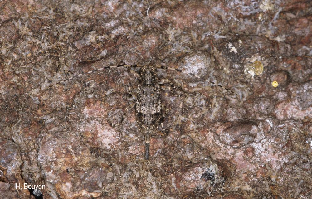 Acanthocinus reticulatus