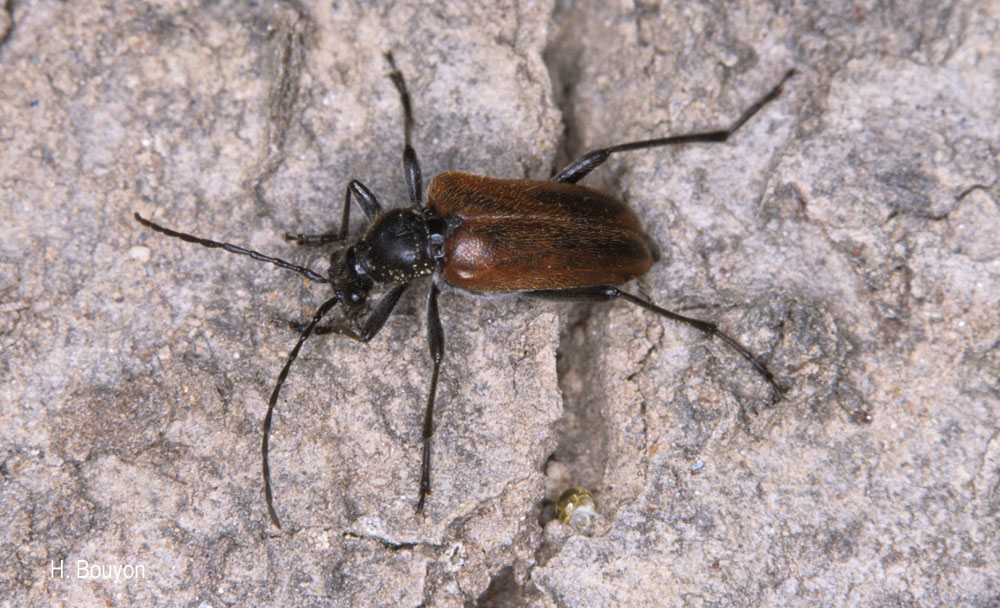 Acmaeops septentrionis