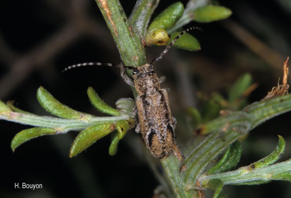 Albana m-griseum