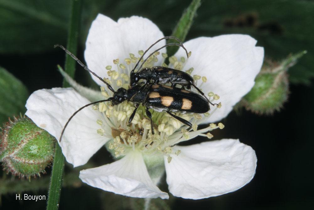 Anoplodera sexguttata