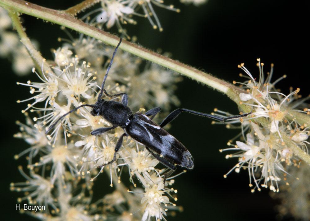 Chlorophorus figuratus