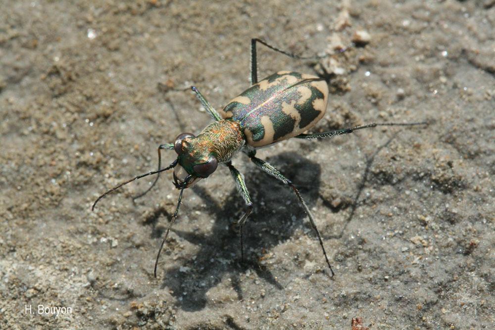 Cephalota circumdata