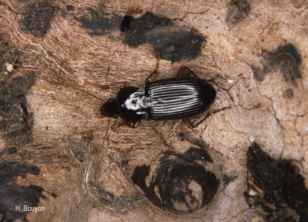 Platyderus depressus