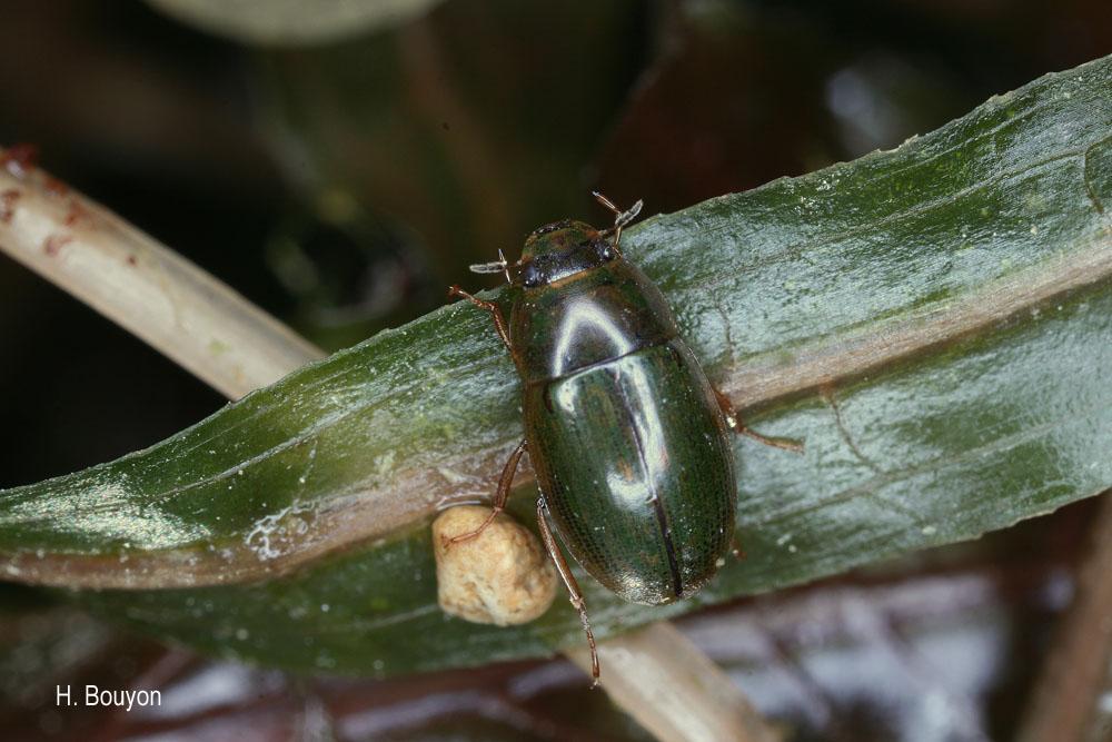 Helochares lividus
