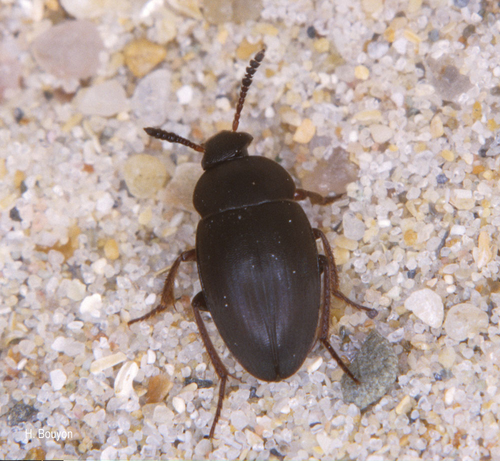 Catops chrysomeloides