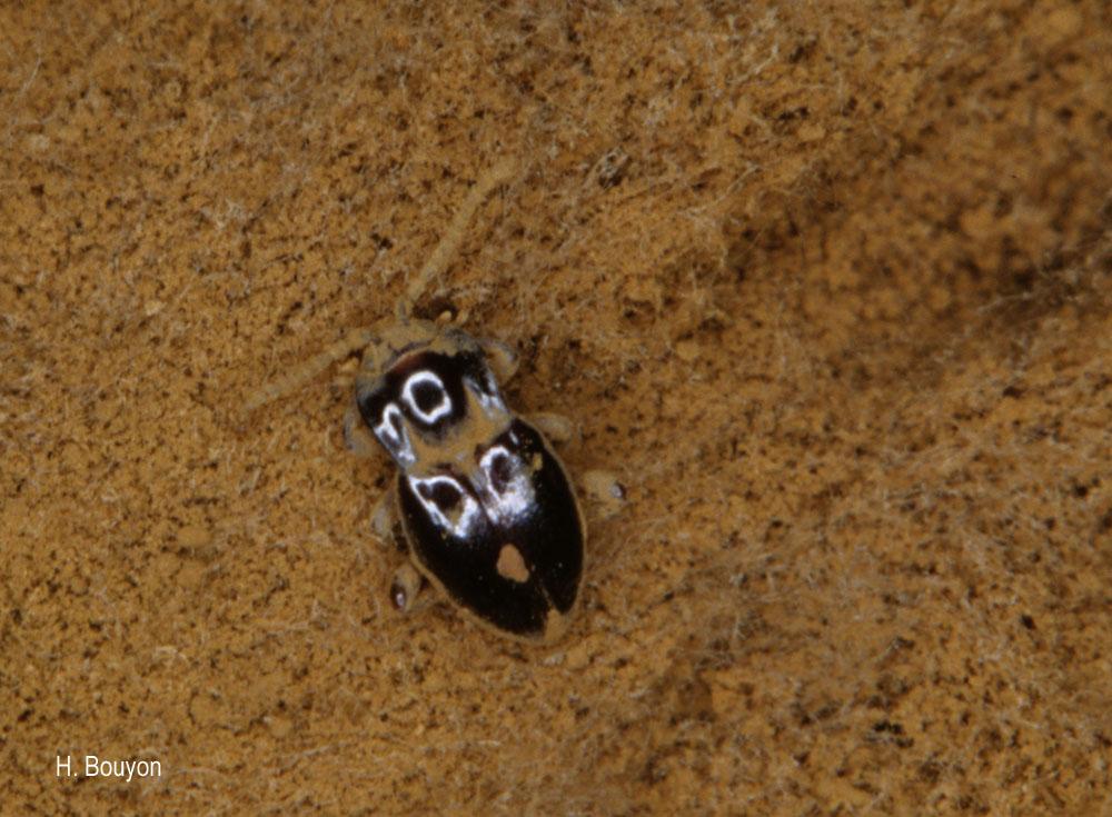 Lycoperdina bovistae