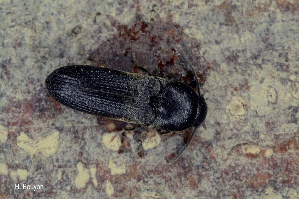 Dromaeolus barnabita