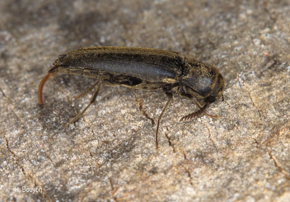 Isorhipis melasoides