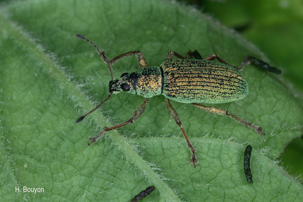 Phyllobius virideaeris