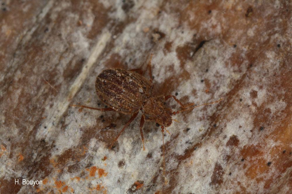 Dasycerus sulcatus
