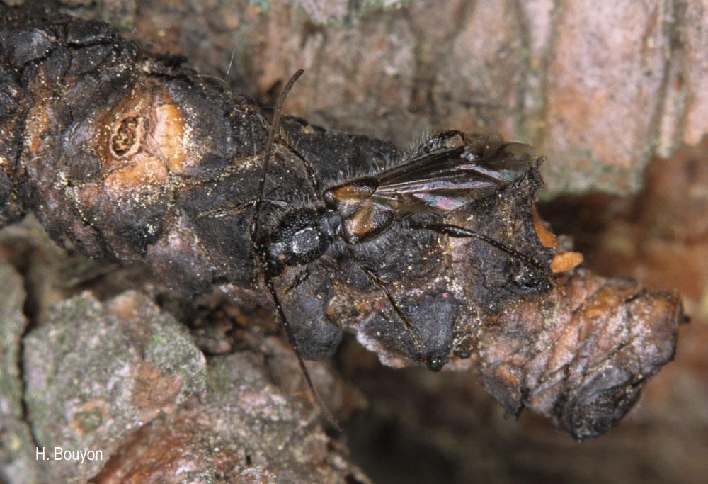 Glaphyra marmottani