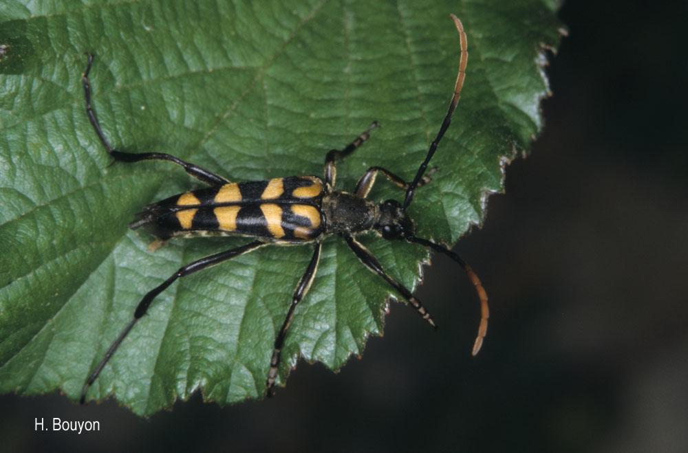 Leptura annularis