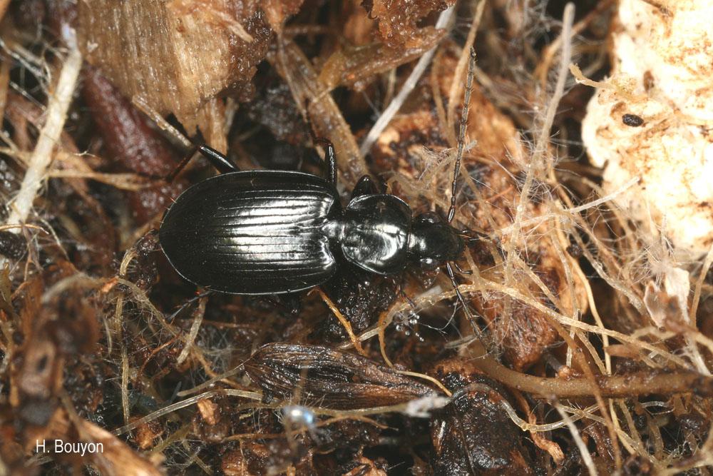 Agonum nigrum