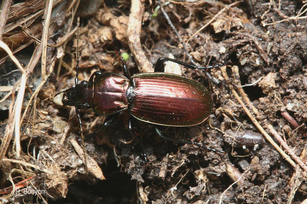 Pterostichus externepunctatus