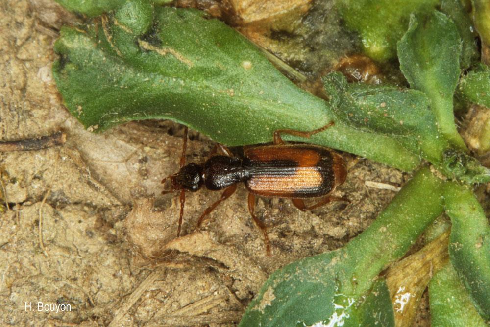 Polistichus fasciolatus