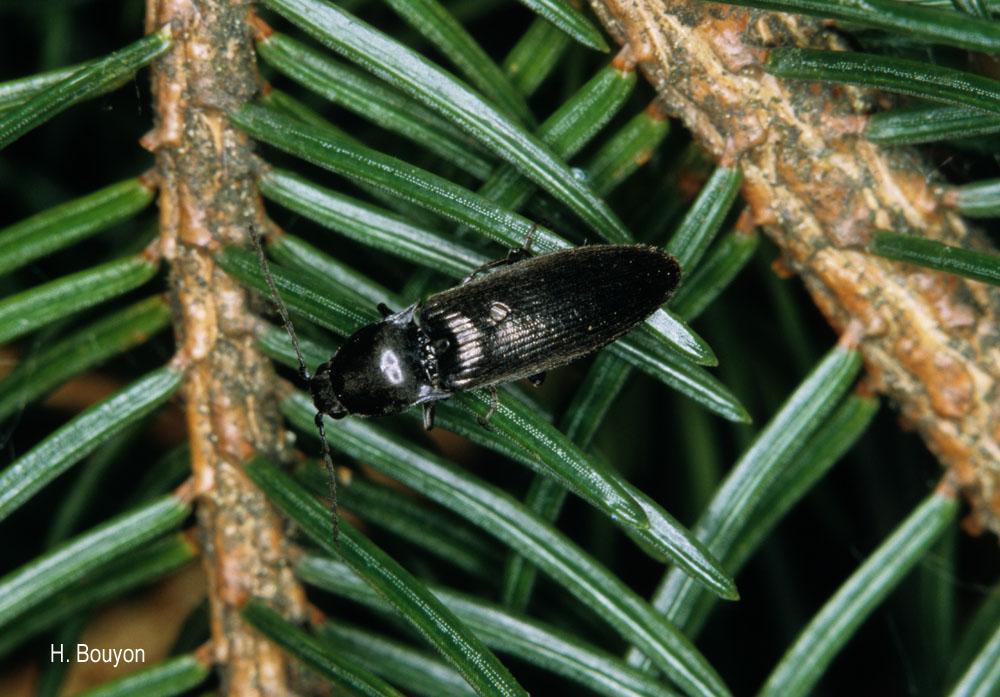 Liotrichus affinis