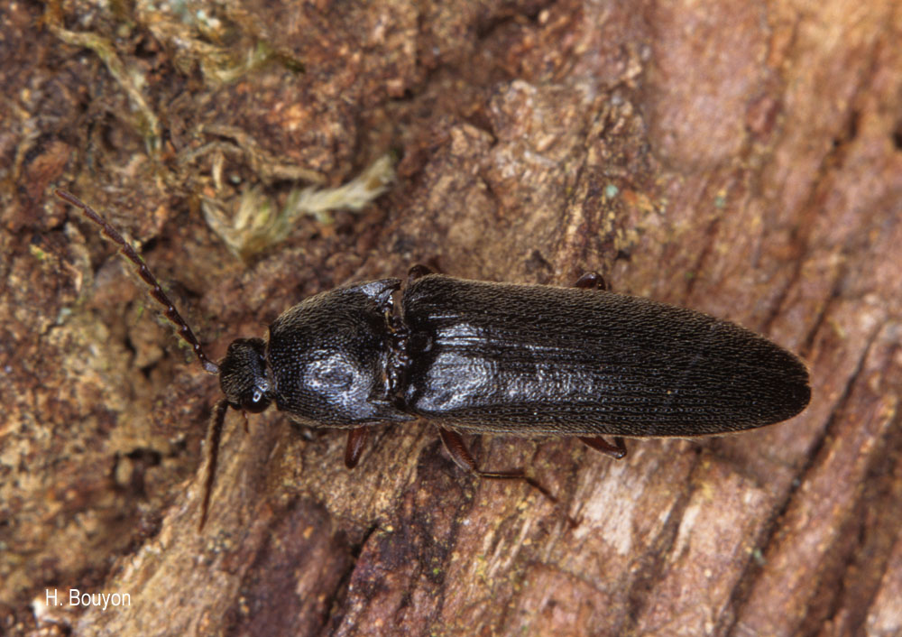 Melanotus villosus