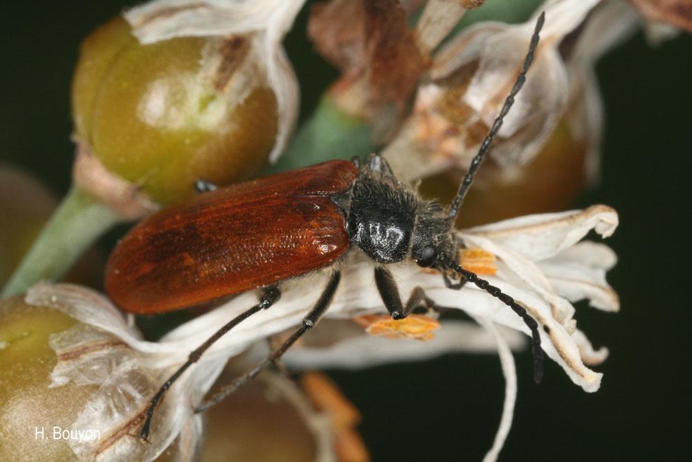 Omophlus lepturoides