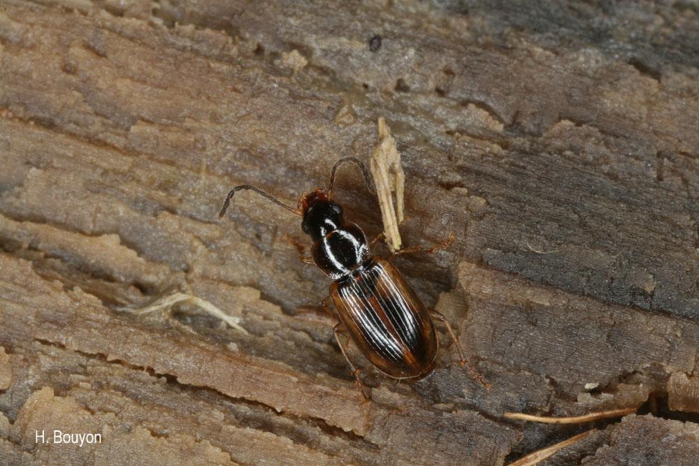 Acupalpus luteatus
