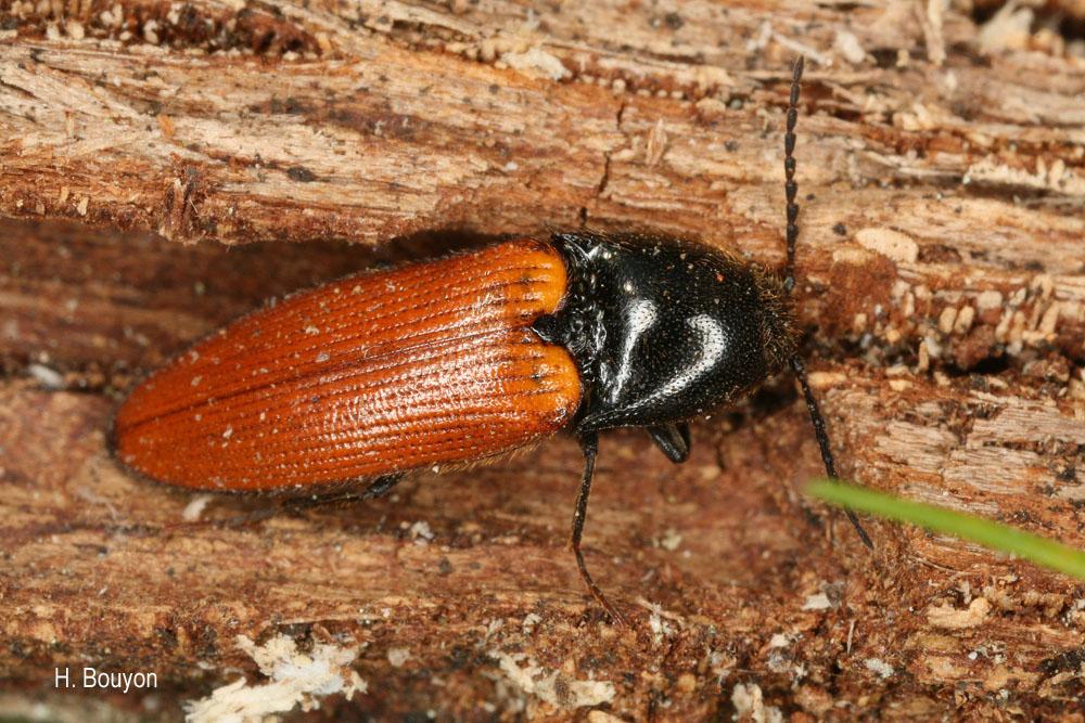 Ampedus nigroflavus