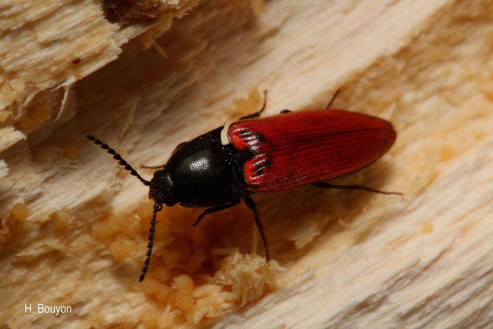 Ampedus quercicola