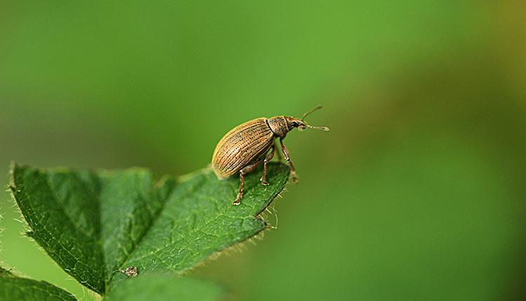 Coléoptère Polydrusus mollis © Didier Druart
