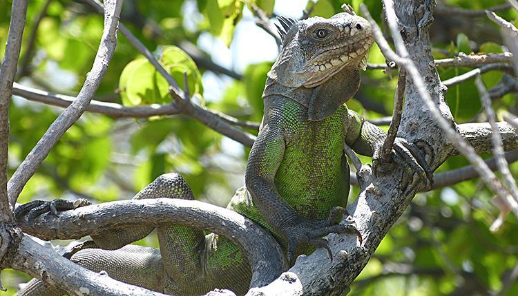 Iguane des Petites Antilles Iguana delicatissima © Aurélien Miralles / MNHN