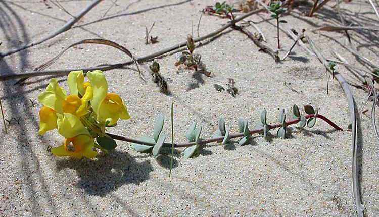 Linaire à feuilles de Thym (Linaria thymifolia), fleur endémique du littoral atlantique © Arnaud Horellou