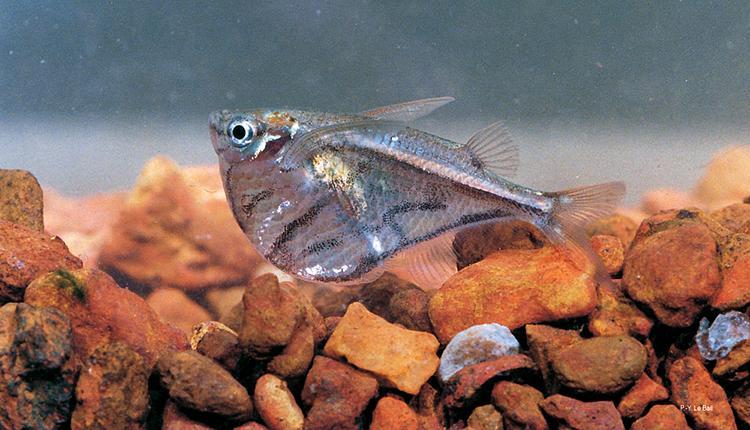 Hachette marbrée, Carnegiella strigata, une espèce classée « En danger critique d'extinction » © P.-Y. Le Bail