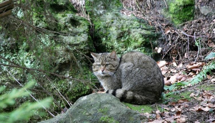 Chat forestier ou Chat sauvage, Felis sylvestris © A. Laurent DR