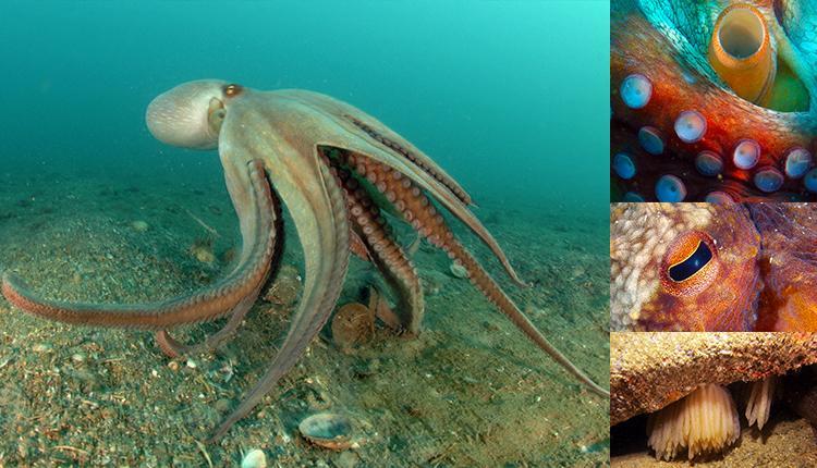 Poulpe commun, Octopus vulgaris © Julie Castera /OFB - Ventouses © Isabelle Drouet - Oeil © Thierry Rolland - Ponte © Benjamin Guichard / OFB