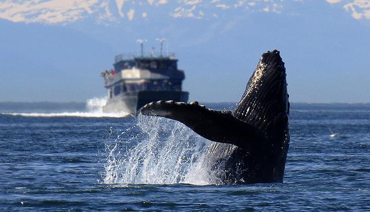 Baleine à bosse Megaptera novaeangliae © Alan Bedding - CC0