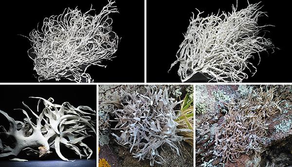 Lichens Roccella
