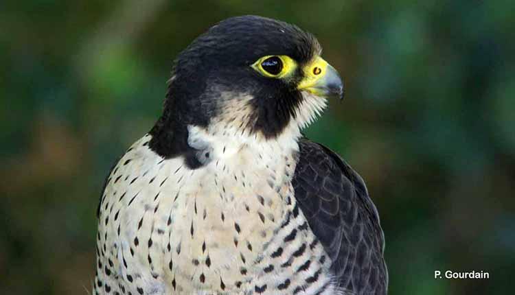 Faucon pèlerin Falco peregrinus © P. Gourdain
