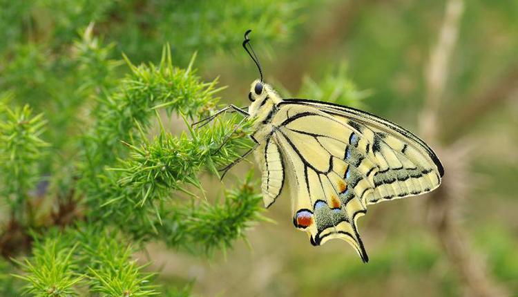 Grand Porte-Queue Papilio machaon © P. Gourdain
