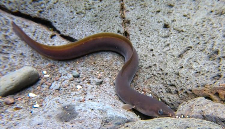 Les Anguilles de La Réunion. Un patrimoine en danger