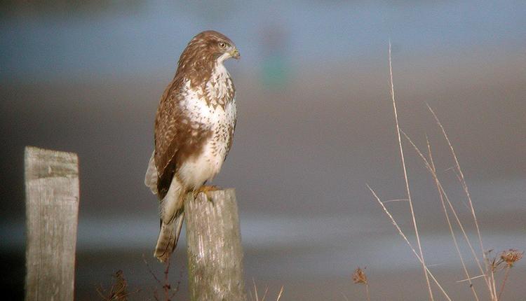 Podcasts : écoutons le chant des oiseaux ONF © Guy Flohart / LPO